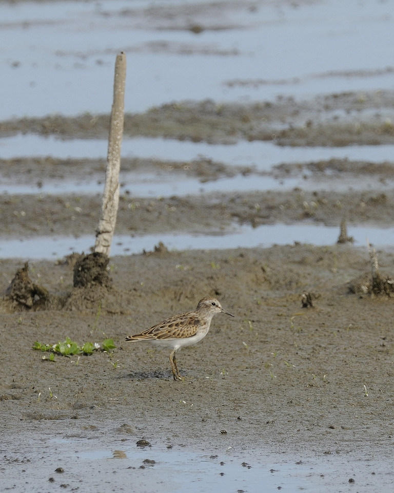 Semi-Palmated Sandpiper (1)