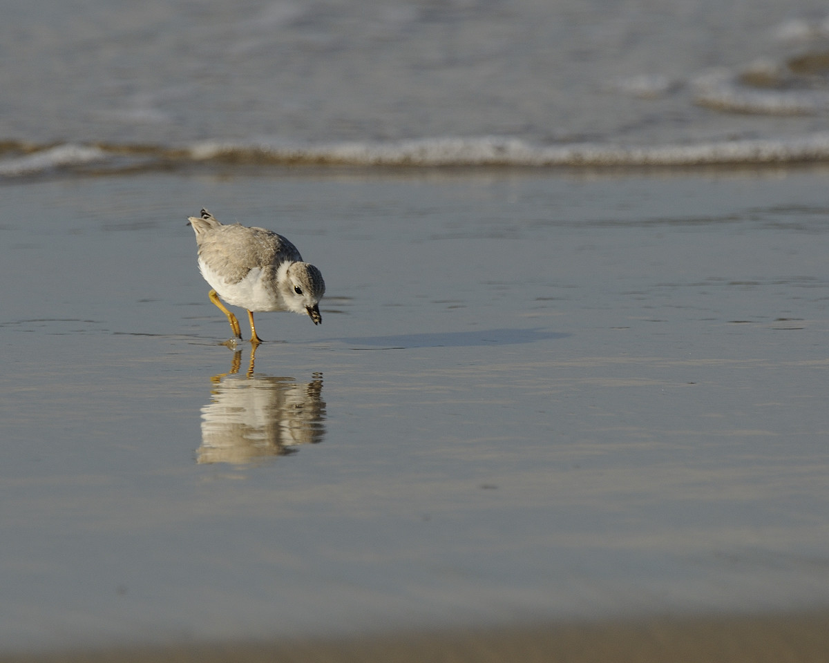Napatree Point - Piping Plover (2)