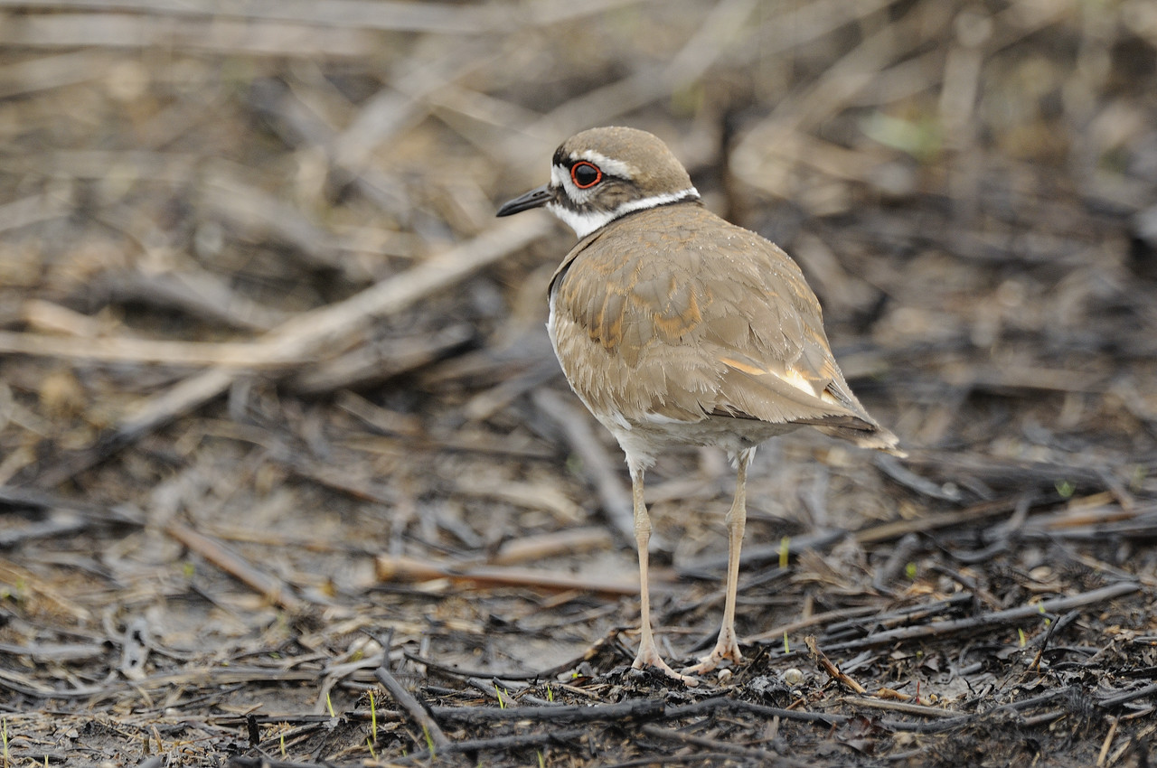 Killdeer (5)