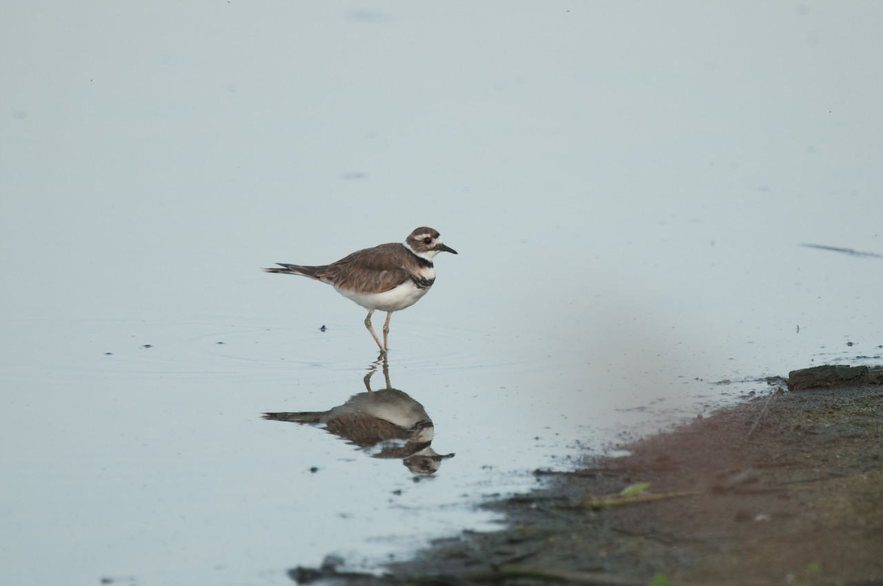 Killdeer at Eagle Bluffs (1)