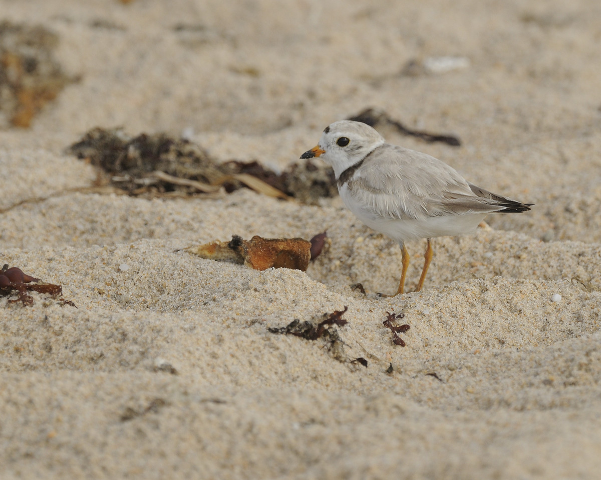 Ninigret Conservation Area - Piping Plover (1)