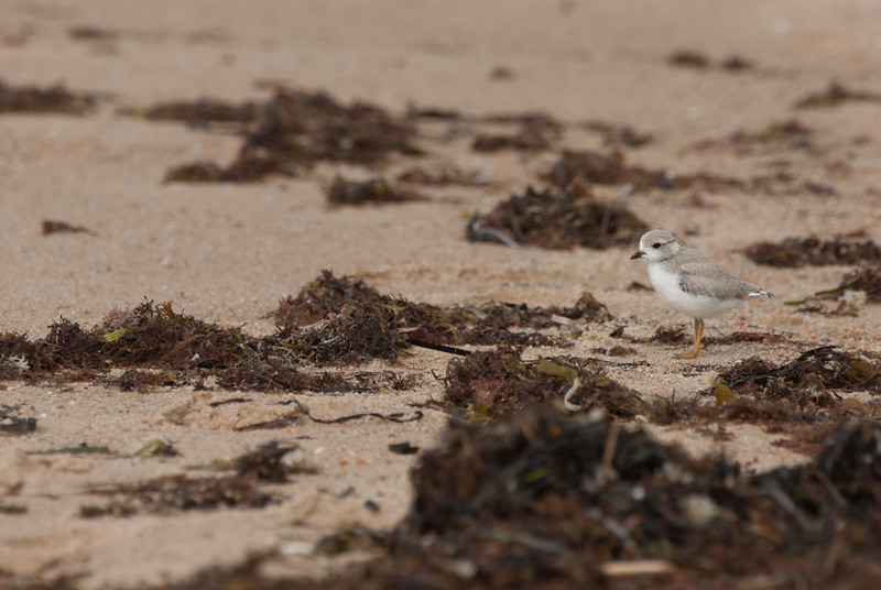 Piping Plover. Ninigret National Wildlife Refuge, Charlestown, Rhode Island. July 2009. (This is a peep which was just learning to fly).