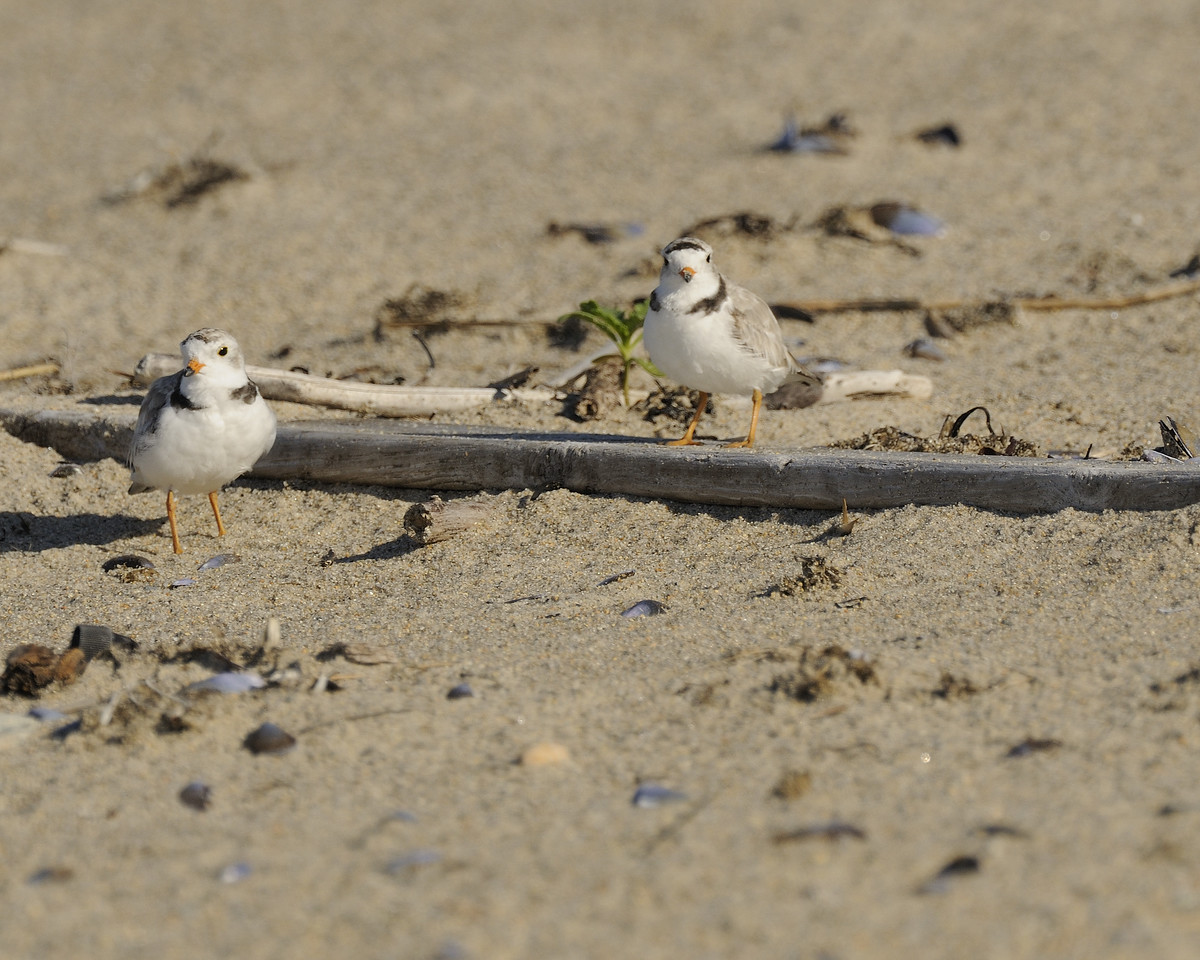 Napatree Point - Piping Plover (5)