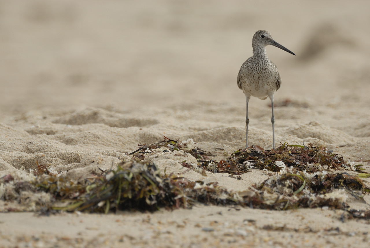 Willet. Ninigret National Wildlife Refuge. Charlestown, Rhode Island. July 2009