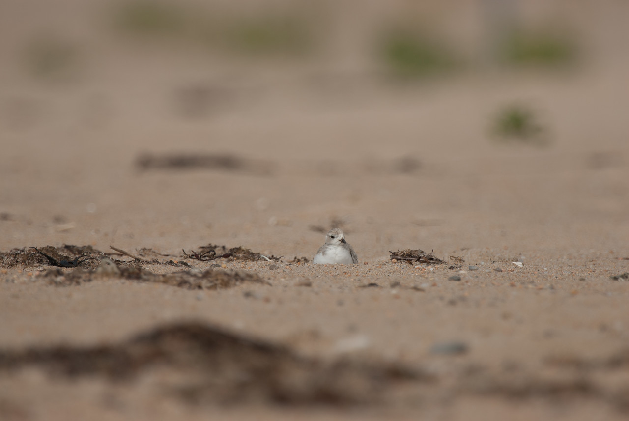 Piping Plover (13)