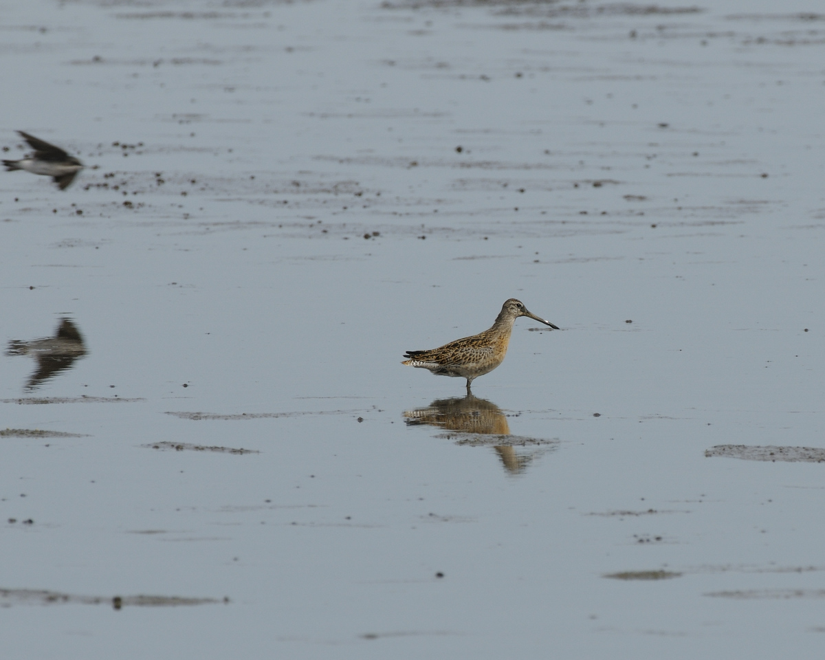 Short-billed Dowitcher (2)
