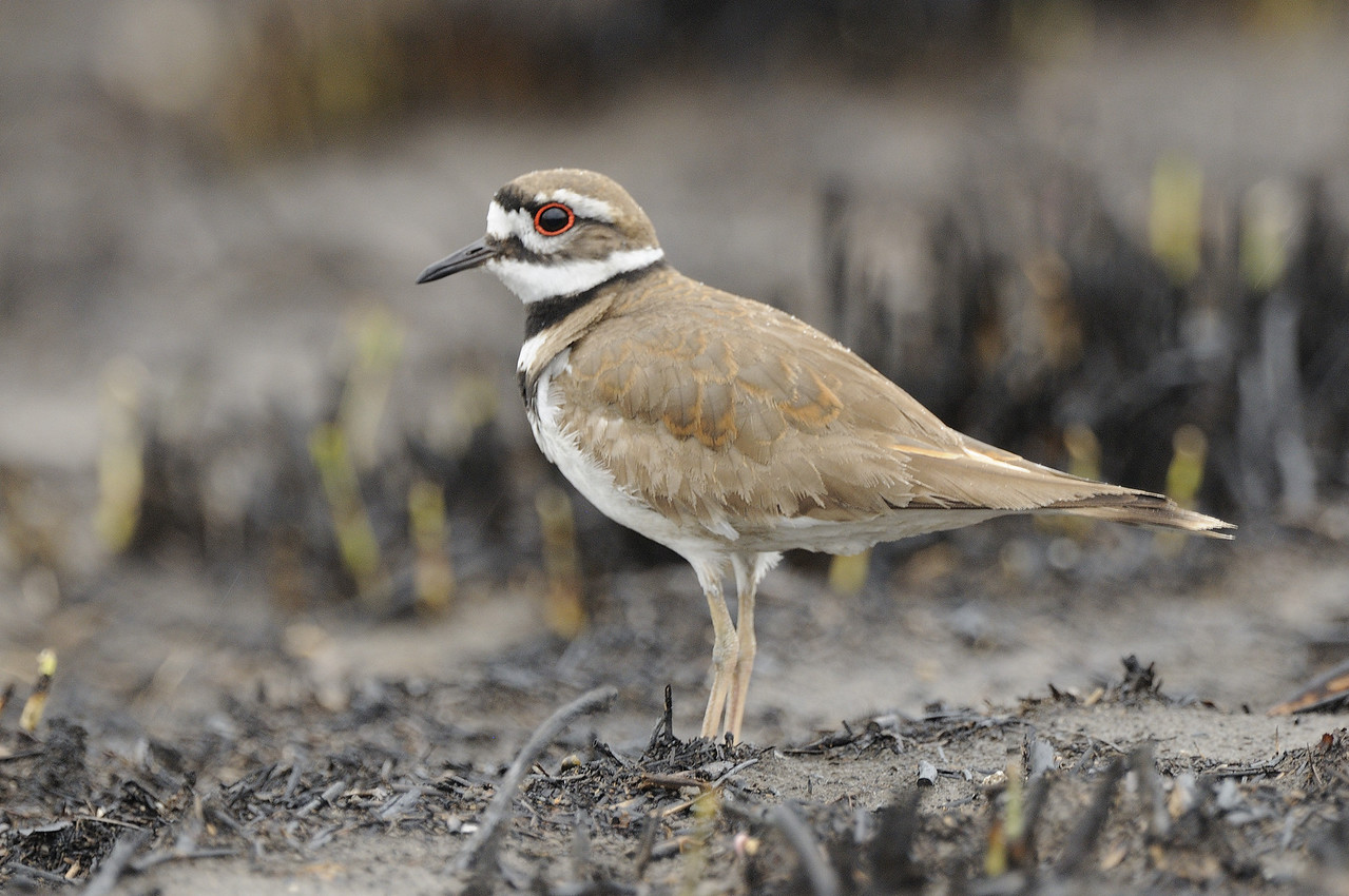 Killdeer (4)