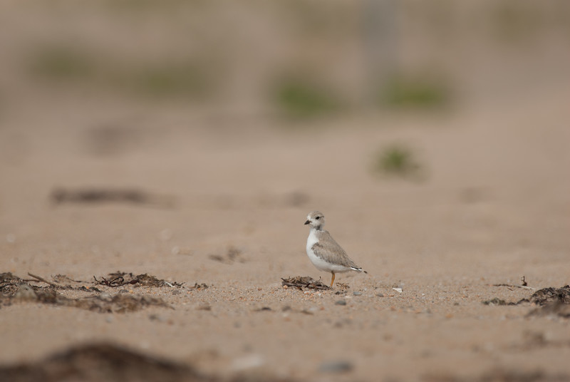 Piping Plover. Ninigret National Wildlife Refuge, Charlestown, Rhode Island. July 2009. This was a peep just learning to fly.
