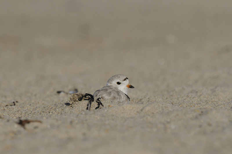 Piping Plover (20)