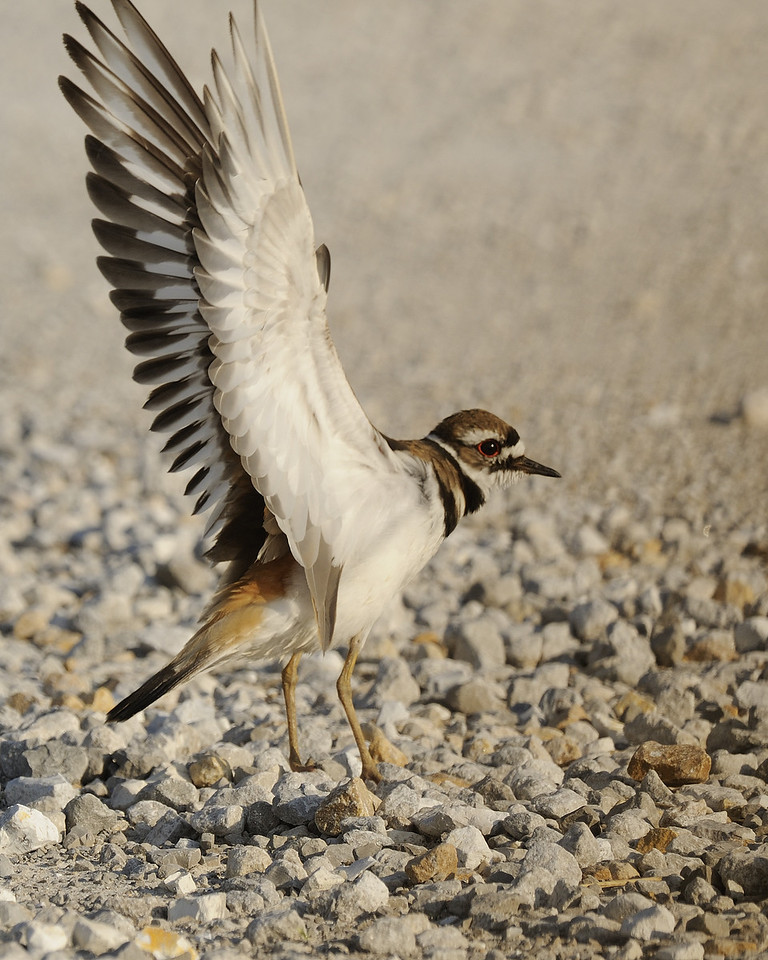 Killdeer (6)