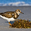 Ruddy Turnstone 093007_5369