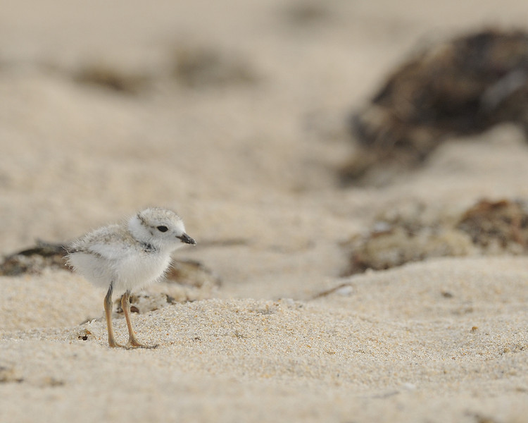 Ninigret Conservation Area - Piping Plover (2)