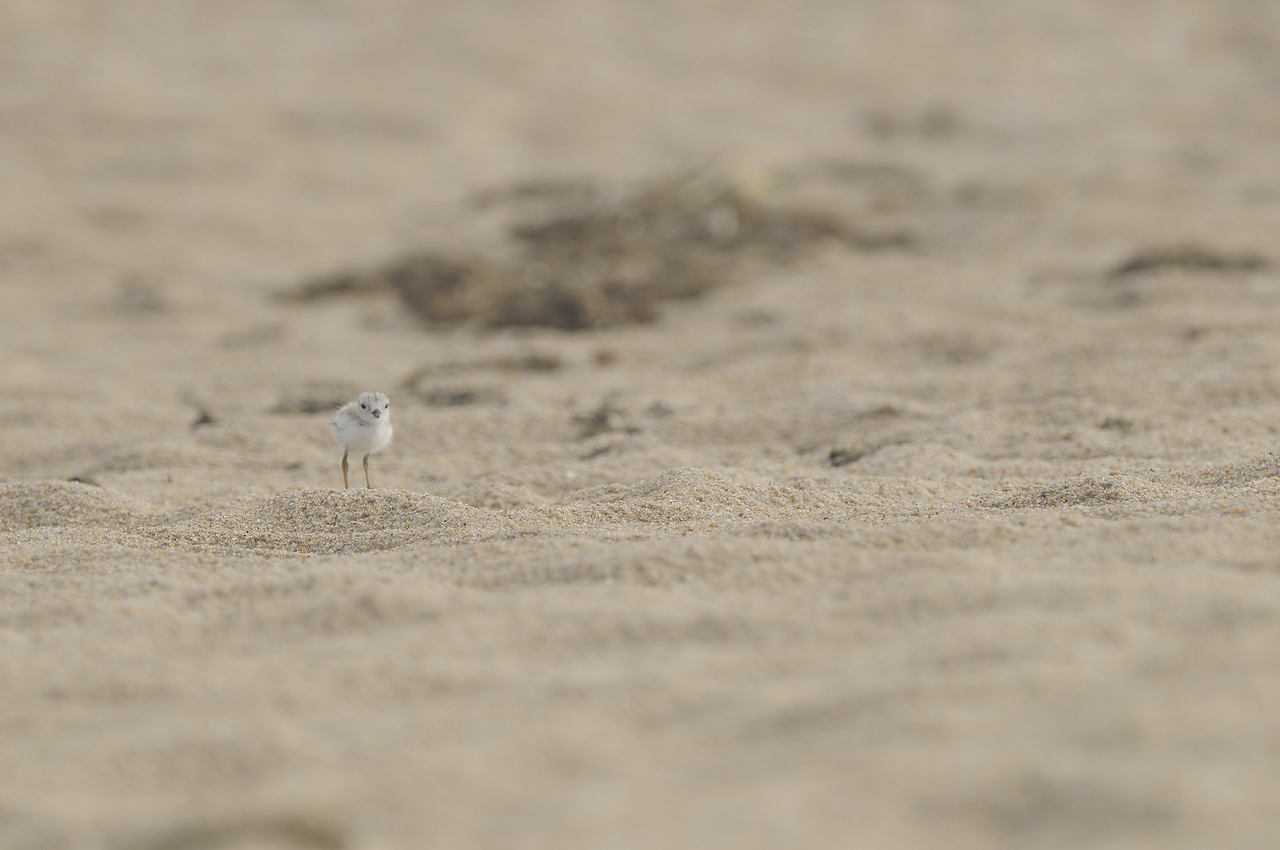 Piping Plover (23) - Ninigret Conservation Area - Charlestown Rhode Island