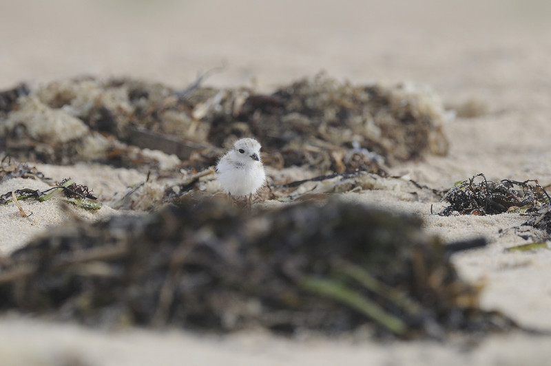 Piping Plover (22)