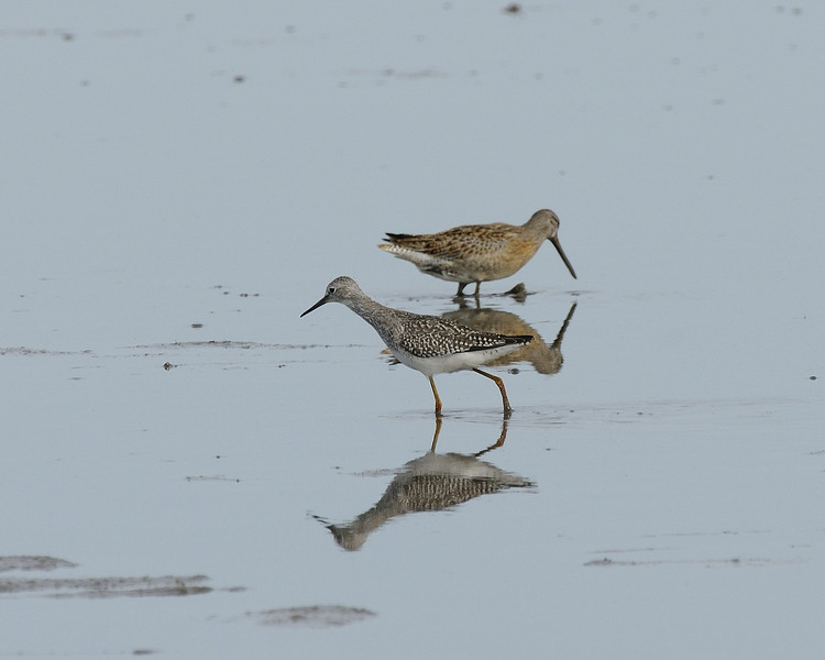 Lesser Yellowlegs and Short-billed Dowitcher