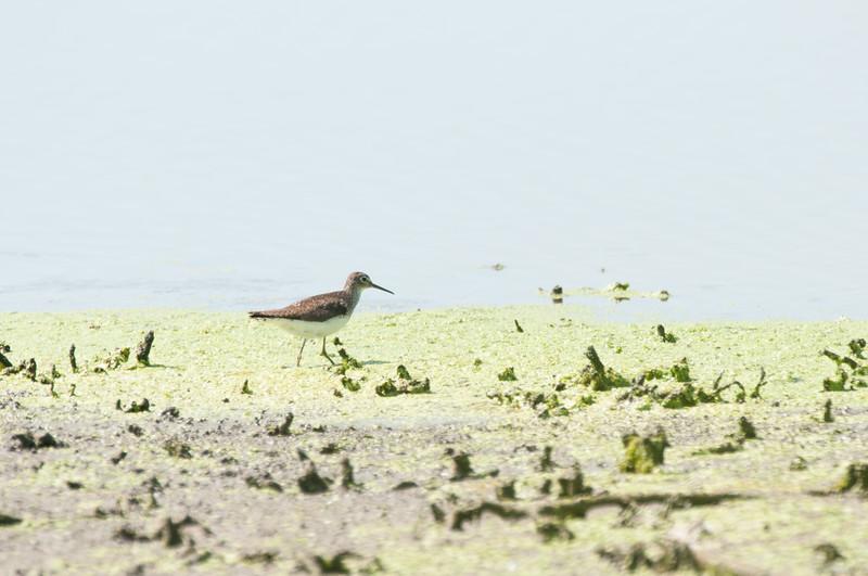 Solitary Sandpiper (1)