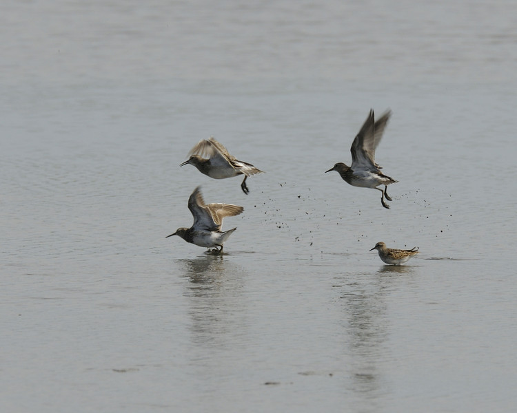 Sandpipers sp  (1) take flight