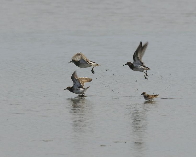 Sandpipers sp  (1) take flight