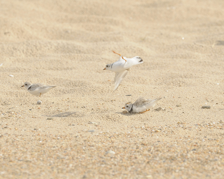 Ninigret Conservation Area - Piping Plover (3)