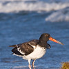 Oyster Catcher 093007_5338