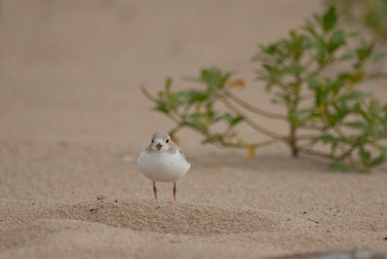 Piping Plover. Ninigret National Wildlife Refuge, Charlestown, Rhode Island. July 2009.