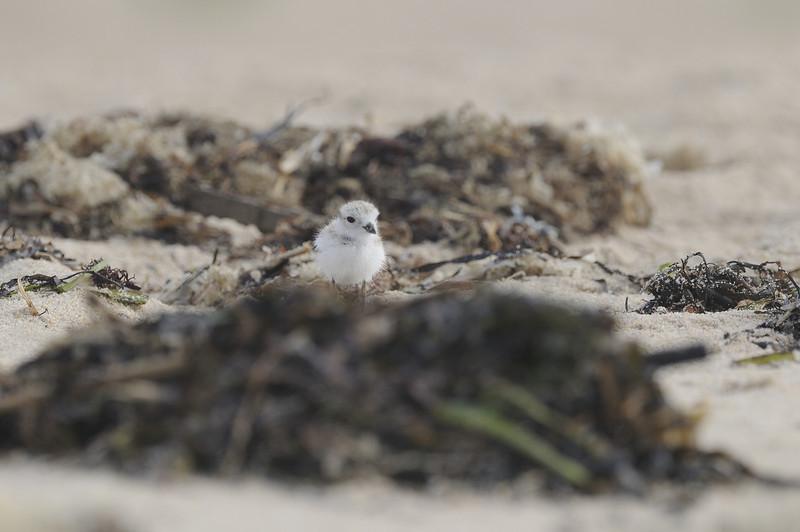 Piping Plover (22) - Ninigret Conservation Area - Charlestown Rhode Island