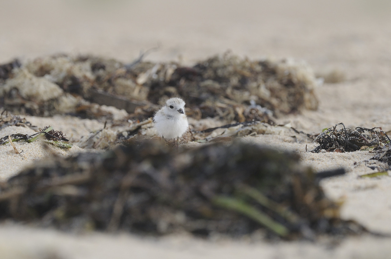Piping Plover (22) - Ninigret Conservation Area - Charlestown Rhode Island