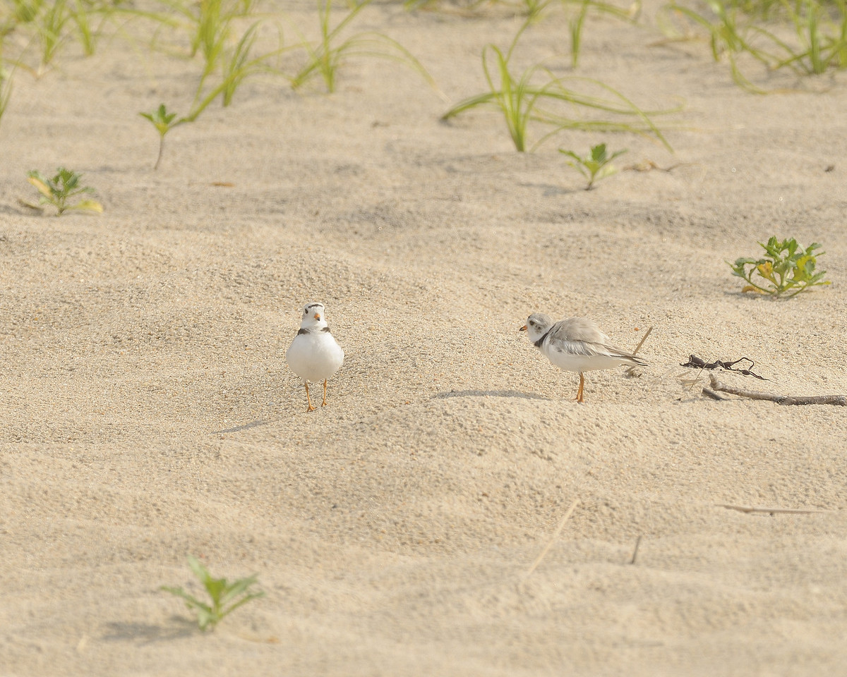 Piping Plover (25) - Ninigret Conservation Areaa - Charlestown Rhodeisland