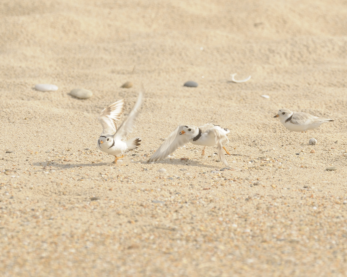 Piping Plover (24) - Ninigret Conservation Area - Charlestown Rhode Island