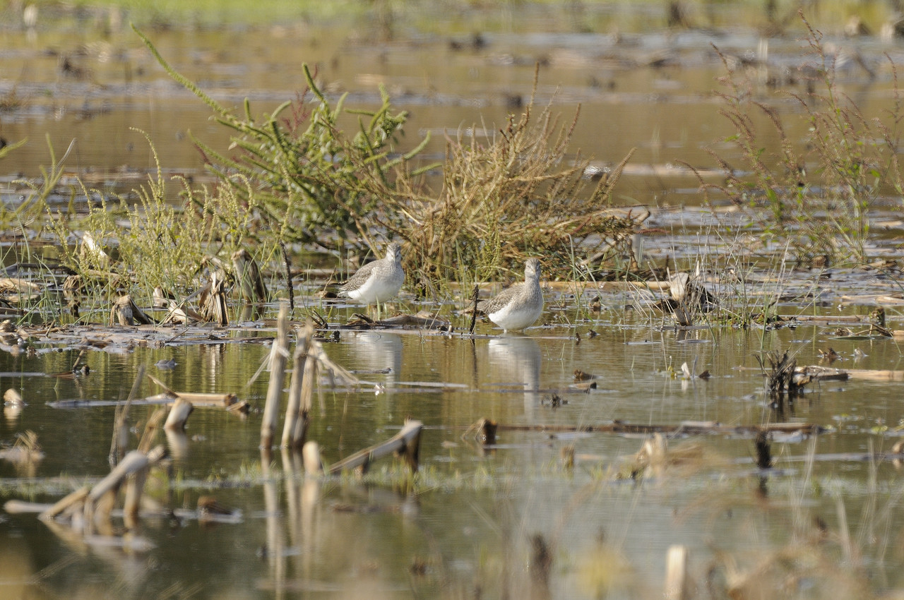 Lesser Yellowlegs (4)