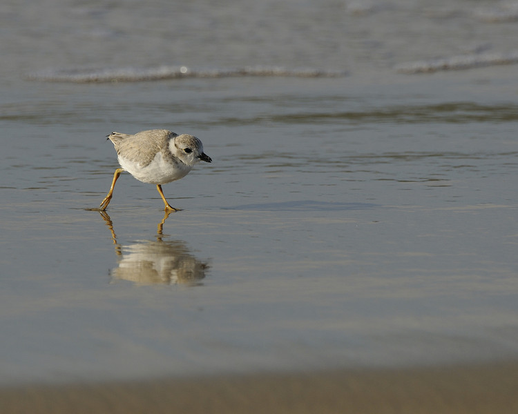 Napatree Point - Piping Plover (3)