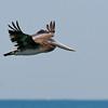 Pelican 081807_2582