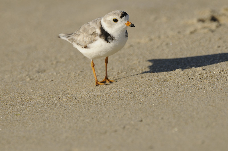 Napatree Point - Piping Plover (4)