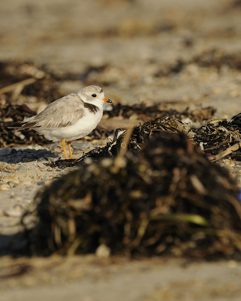 Napatree Point - Piping Plover (1)