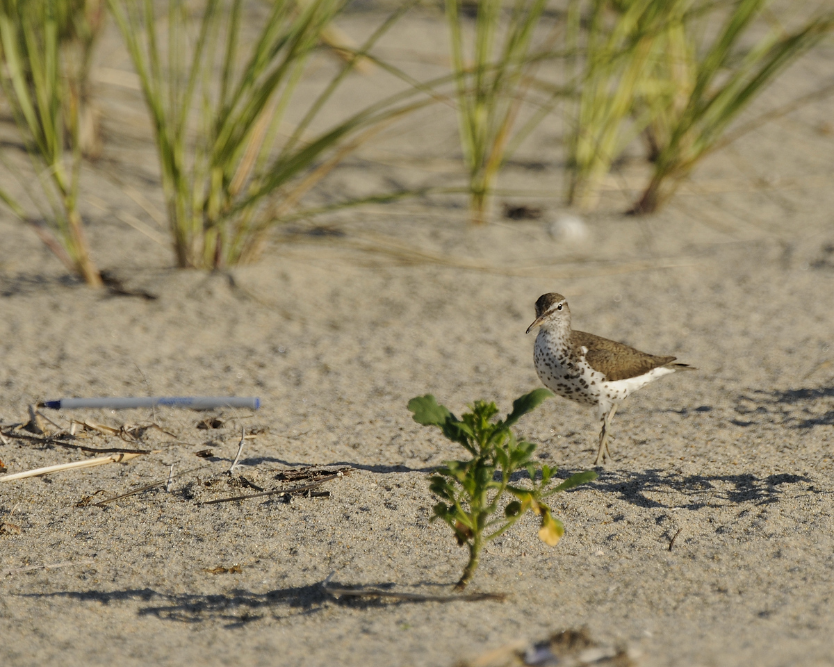 Napatree Point - Spotted Sandpiper (1)
