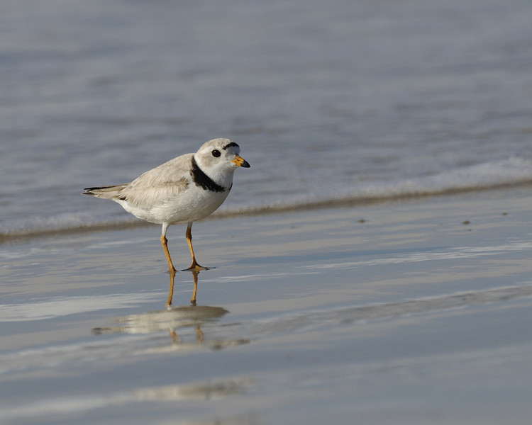 Napatree Point - Piping Plover (6)