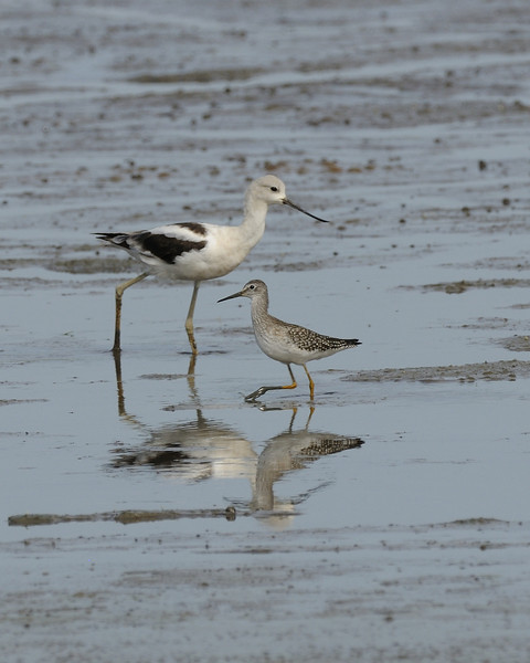 American Avocet and Lesser Yellowlegs. Heron Pond, Riverlands Migratory Bird Sanctuary, St. Charles County, Missouri. September 2009.