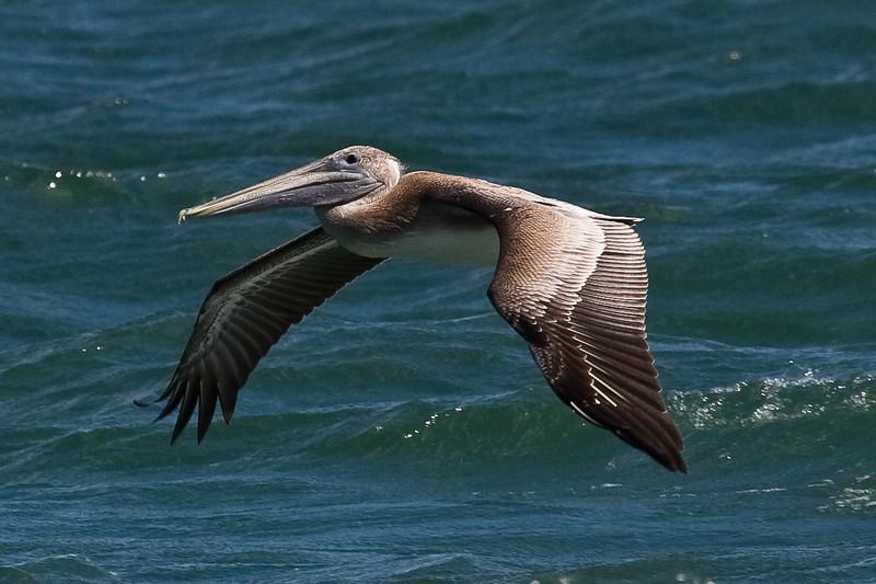 Pelican 092907_6339