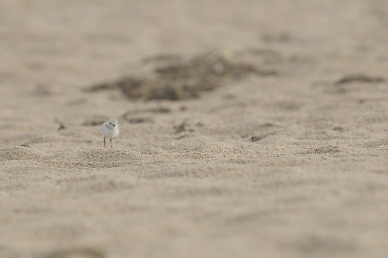 Ninigret Conservation Area - Piping Plover