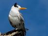 Royal Tern, Naples, Florida