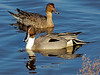 Pintail Ducks, Male and Female