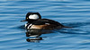 Hooded Merganser, Shark River, Neptune City, NJ  Jan 2014