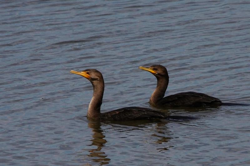Double Crested Cormorants, Brigantine NWR, NJ