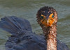 Double Crested Cormorant - Smiling
