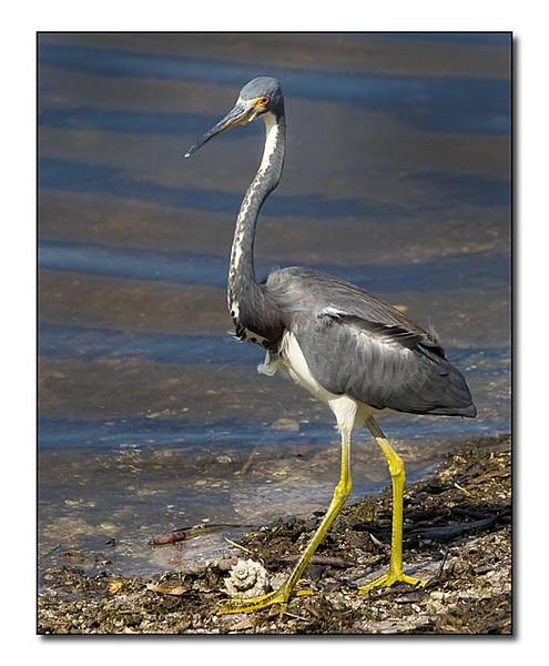 Louisiana Heron changing (92644359)