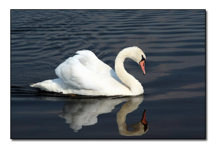 Mute Swan III (71278494)