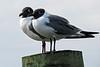 shorebirds-267a