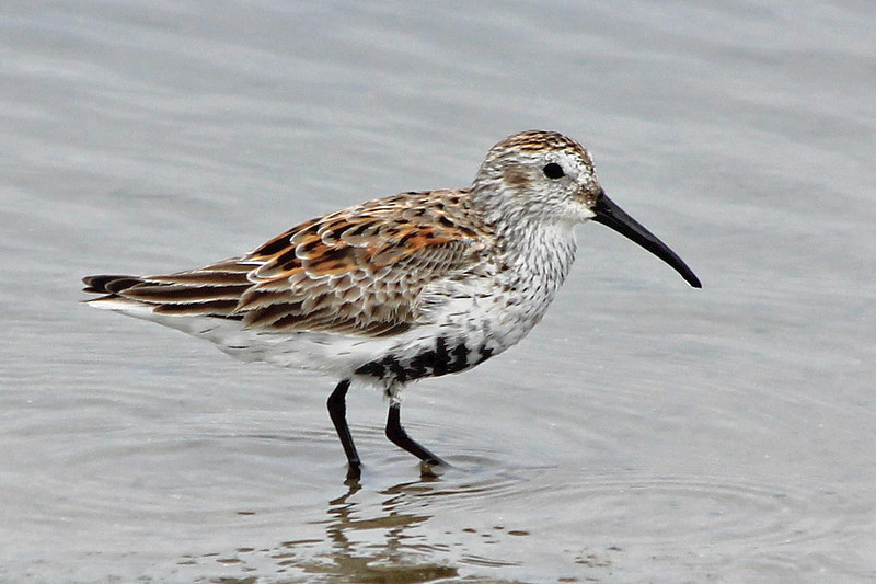 Dunlin, Chincoteague NWR, VIrginia, May 2012