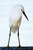 """Snowy Egret,  J. N. """"Ding"""" Darling NWR, Sanibel Island, FL"""