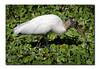 Wood Stork (92559533)